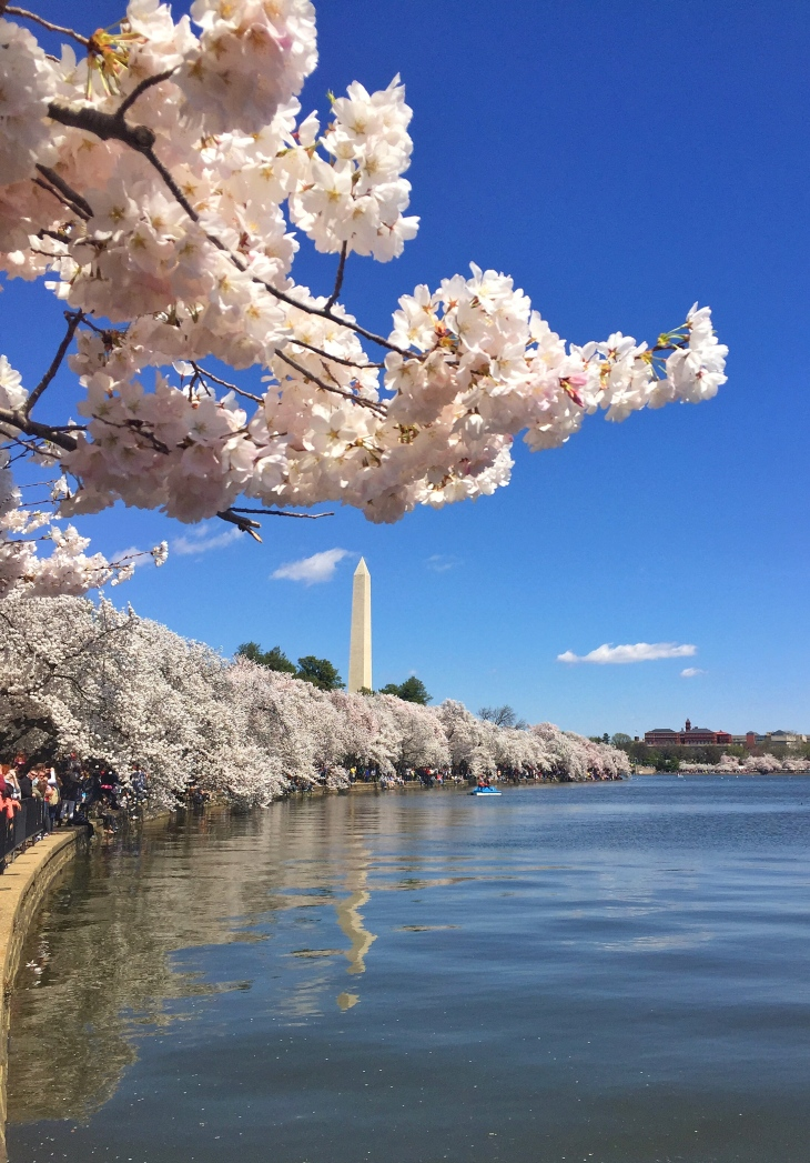 Cherry Blossoms in the Tidal Basin and the Washington  monument